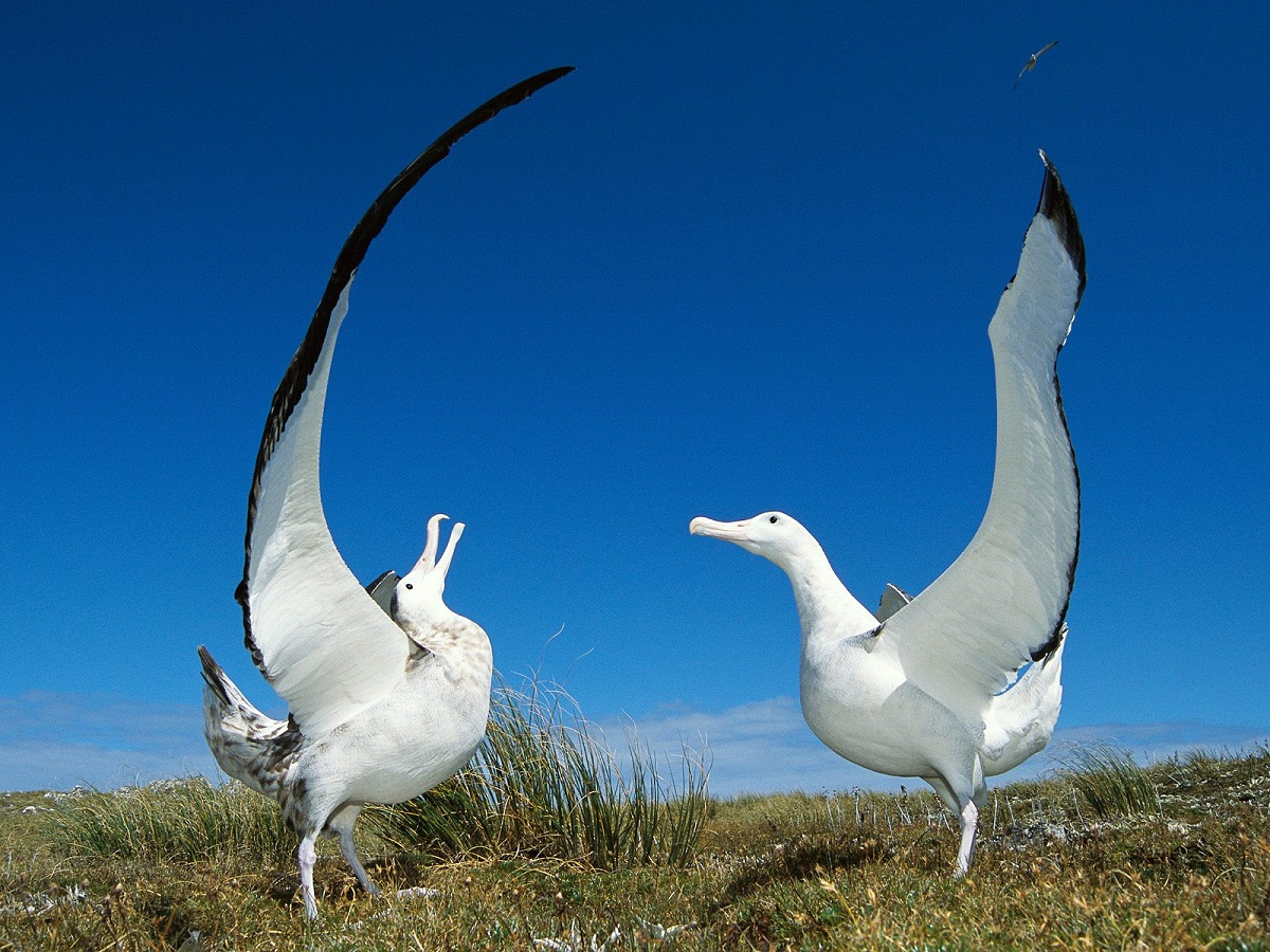 ALBATROSS Informations Pictures | Birds Gallery