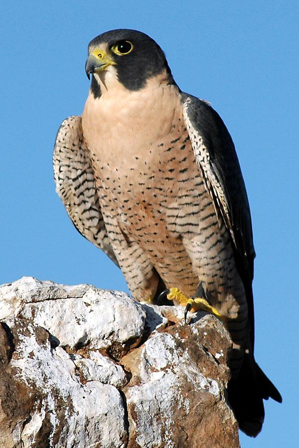 Peregrine Falcon Informations Pictures