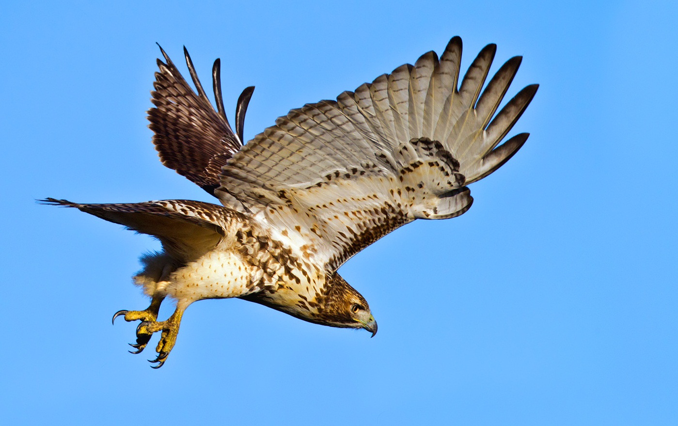 Red Tailed Hawk And Small Dogs